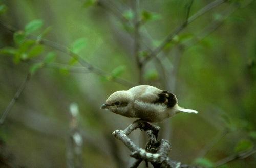 chim chàng làng