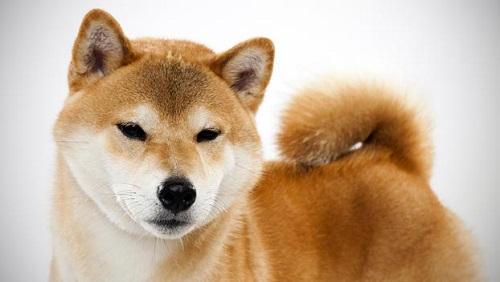 mua chó shiba inu giá rẻ