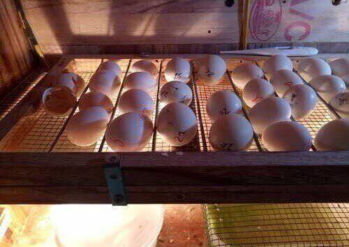 lò ấp trứng gà đông tảo