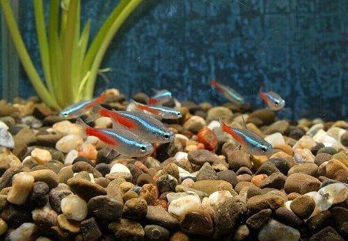 nuôi cá neon sinh sản