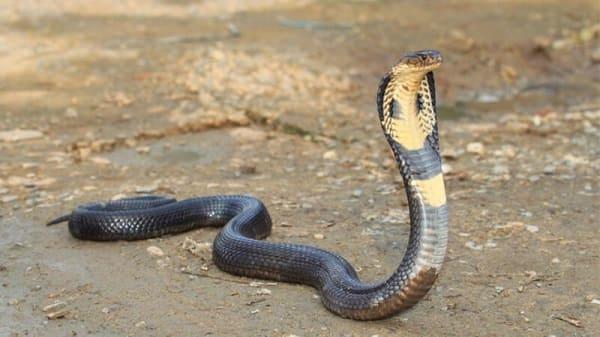 bán rắn hổ mang