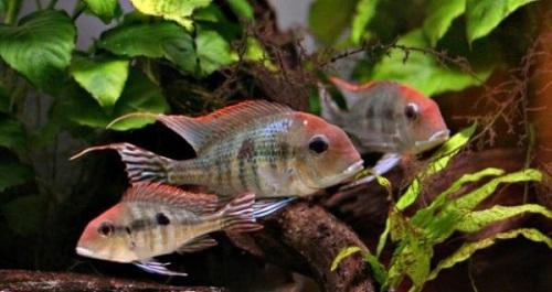 cá hải hồ đầu đỏ