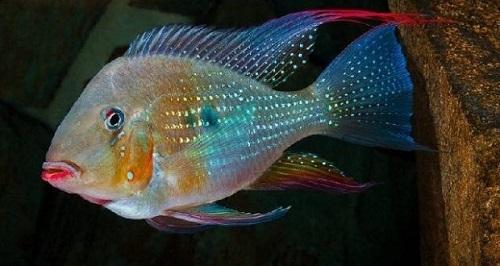 cách nuôi cá hải hồ