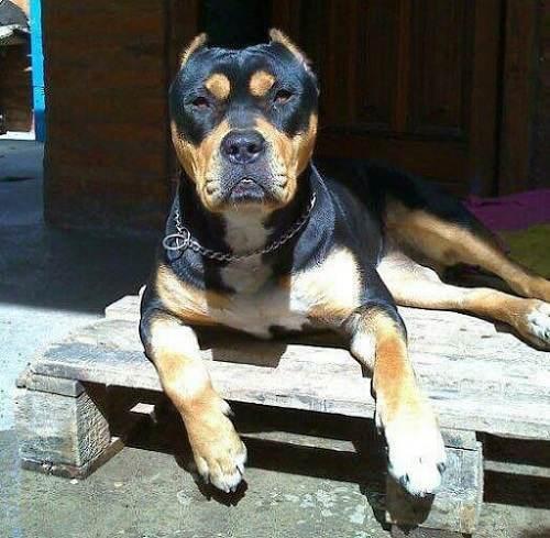 Chó Rottweiler lai pitbull