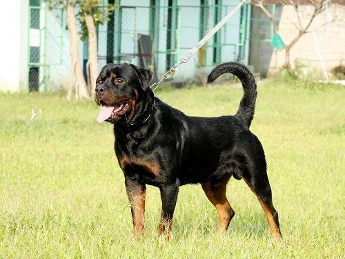 Giống chó Rottweiler lai Doberman