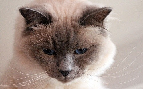 mèo birman giá bao nhiêu