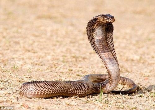 hình ảnh rắn hổ mang