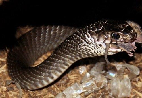 kỹ thuật nuôi rắn hổ mang