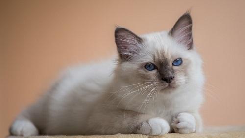 mèo thần miến điện