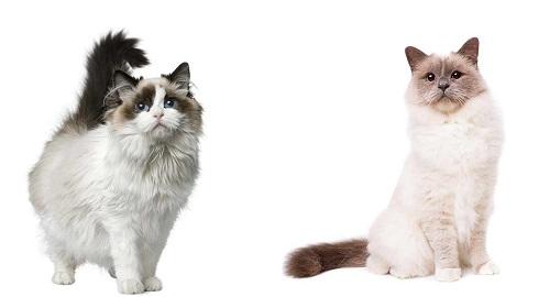 phân biệt mèo Birman với mèo Ragdoll