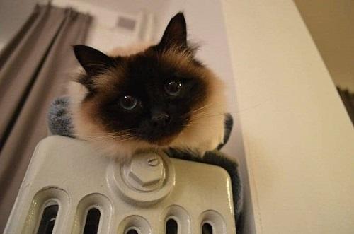 chăm sóc mèo thần miến điện
