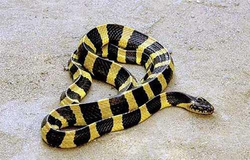 phân biệt rắn cạp nong và rắn cạp nia