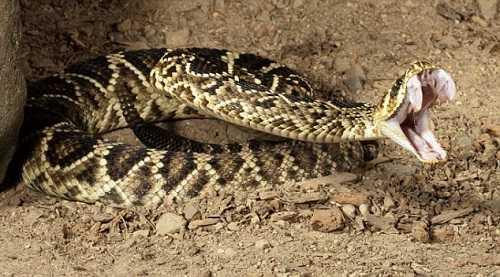 rắn chuông săn mồi