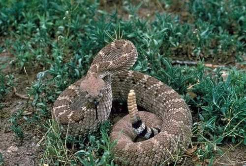 rắn chuông