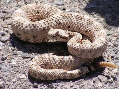 rắn đuôi chuông sinh sản