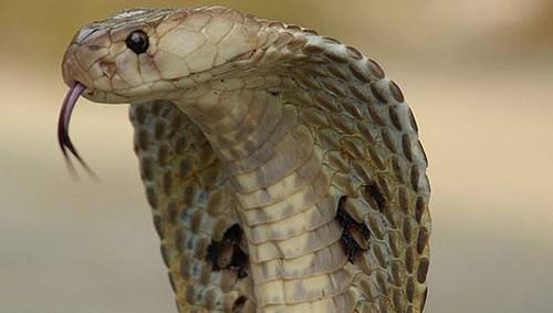 vảy rắn hổ mang