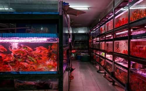 mua cá sặc gấm ở đâu