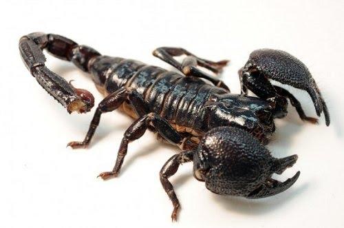 bọ cạp đen