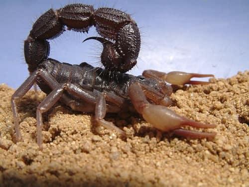 bọ cạp sống ở đâu