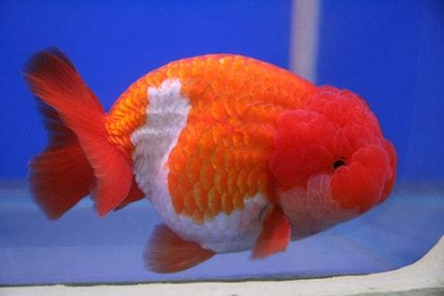 cá đầu lân