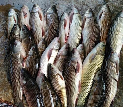 cá trôi bao nhiêu tiền 1kg