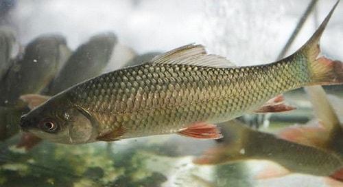 cá trôi
