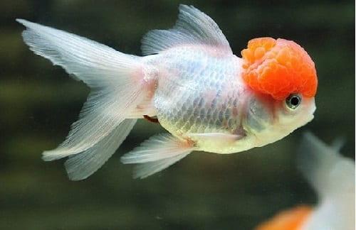 cá vàng đầu lân giá bao nhiêu