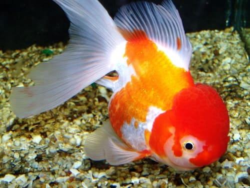 cá vàng đầu lân