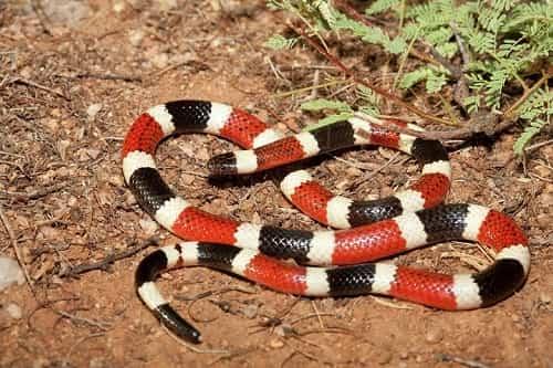 rắn san hô ở việt nam