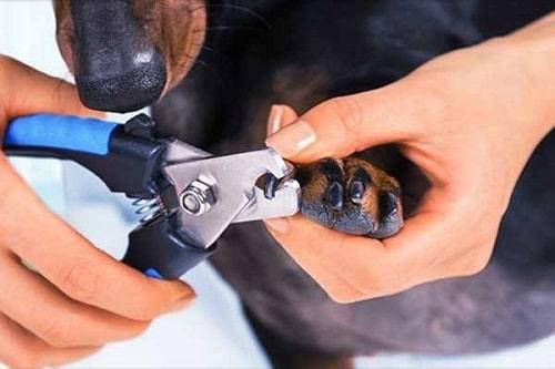 cách cắt móng cho chó