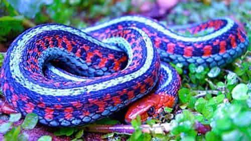 rắn san hô độc