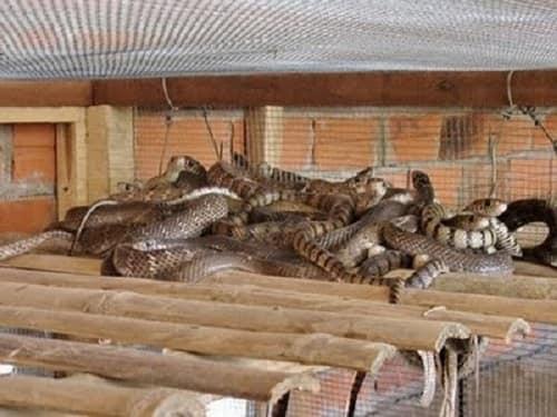 rắn hổ trâu cắn có độc không