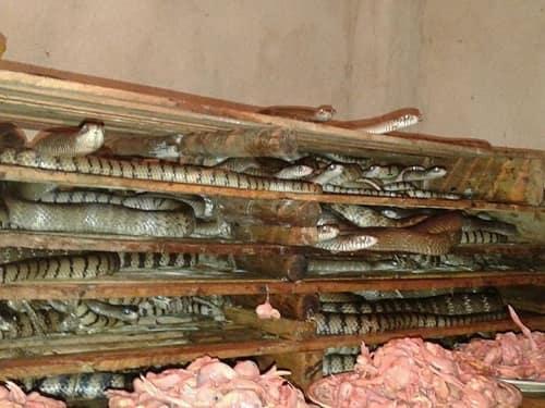 mô hình nuôi rắn hổ trâu