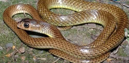 ăn thịt rắn ráo có tác dụng gì