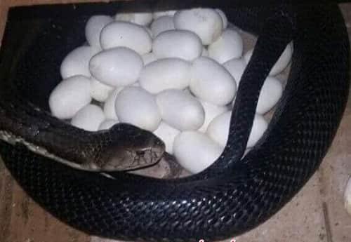 thức ăn của rắn hổ trâu