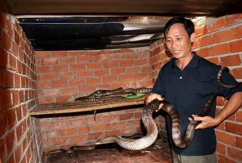 rắn giáo vàng