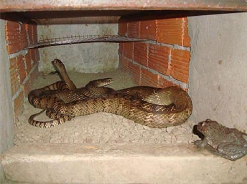 rắn rào đốm