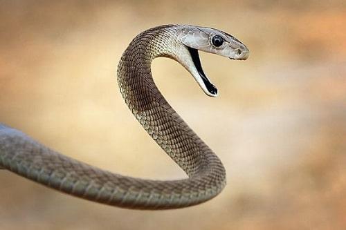 rắn black mamba