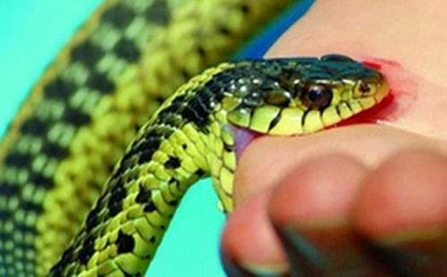 rắn cạp nong cắn