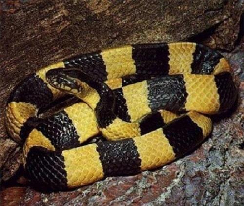rắn cạp nong có độc không