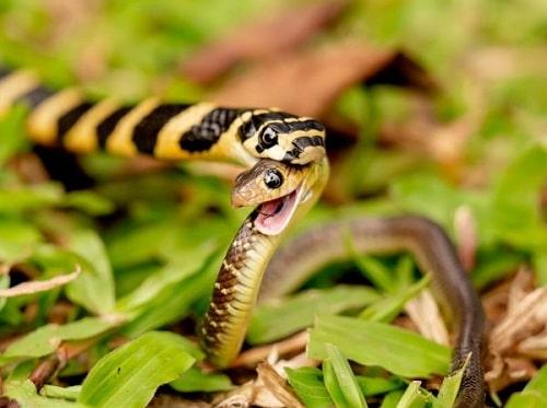 rắn cạp nong thức ăn