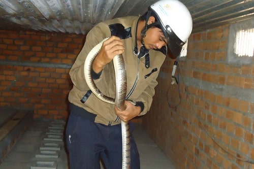 rắn hổ hèo giá bao nhiêu