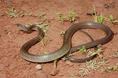 rắn hổ trâu