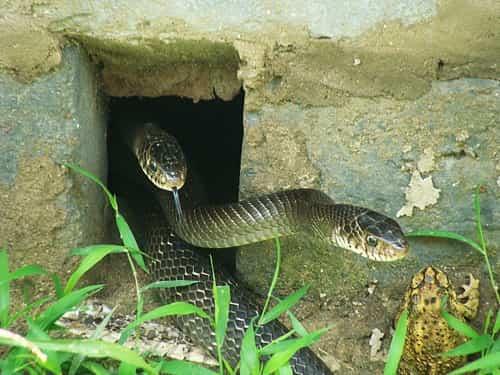 rắn hổ vện