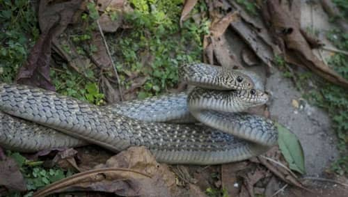 rắn lãi