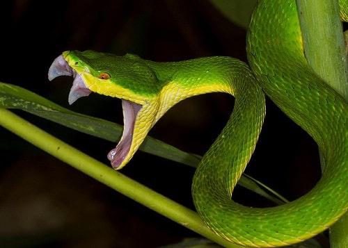 rắn lục đuôi đỏ cắn chết người