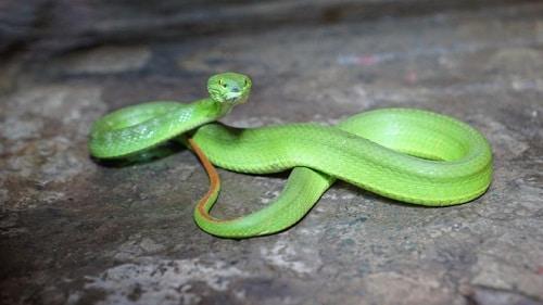 rắn lục đuôi đỏ