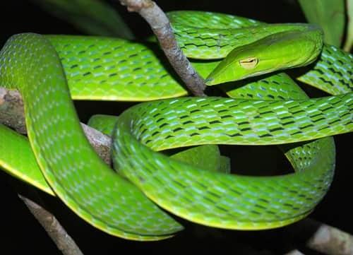 rắn roi