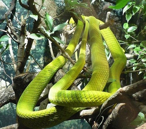 rắn lục mamba