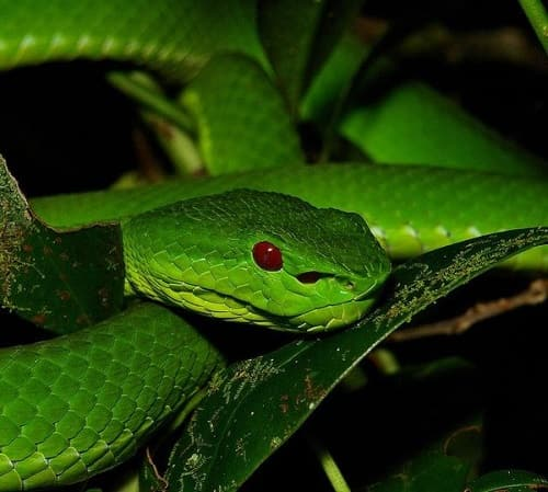 rắn lục xanh